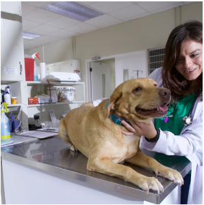 Ross Vet student examines a dog